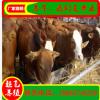 养殖肉牛 鲁西黄牛养殖场 肉牛养殖 水牛 农村小型养牛场
