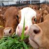 山东超飞牧业出售改良肉牛 肉牛犊 鲁西黄牛 三元杂交牛