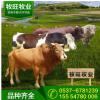 小黄牛养殖场 小牛犊现在价格 哪里有小牛犊 哪里销售小牛犊