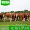 贵州哪里南方牛苗好 哪里有卖利木赞牛苗的夏洛莱牛苗价格纯种肉
