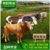 小牛犊活体 鲁西黄牛牛苗 肉牛犊出售 三元杂交牛犊 西门塔尔牛苗