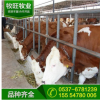 宁夏哪里有黄牛卖 哪里有卖种黄牛 中国黄牛网 肉牛养殖技术要点
