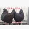 黄色元宝鸽种鸽价格 哪里有卖红色元宝鸽种鸽的 黄色元宝鸽