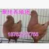 包邮元宝鸽价格 元宝鸽活体种鸽价格 元宝鸽最新市场报价
