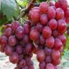康宏种植养殖专业合作社 葡萄