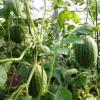 六郎批发 农家种植早春红玉小西瓜 基地专供