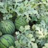 农家批发 王绿色新鲜有籽麒麟西瓜礼 汁多味甜大西瓜