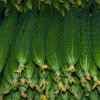供应精品水果黄瓜 绿色 新鲜蔬菜 农产品土特产批发