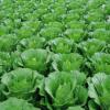 新鲜小白菜 绿色无公害蔬菜 新鲜青菜