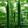 黄瓜 绿色无公害蔬菜 新鲜蔬菜 新鲜采摘 农家种植