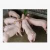 正谊散养农家生态有机黑土猪苗猪仔 新鲜藏香猪冷冻生鲜猪肉批发