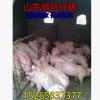 山西仔猪供应猪批发价格行情今日仔猪报价