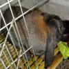 去哪里可以买到优质纯种公羊兔 公羊兔多少钱一只 公羊兔小兔子