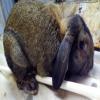 公羊兔活体幼崽养殖场建设|在哪里有卖公羊兔苗的?