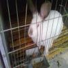 伊拉兔种兔-山东伊拉兔养殖基地
