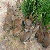 巨型安哥拉兔 安哥拉长毛兔养殖 安哥拉德系长毛兔 长毛兔图片