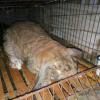 养一只公羊兔活体幼崽成本要多少?公羊兔苗的销售渠道|