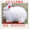 长毛兔 长毛兔种兔 长毛兔兔毛价格 比利时野兔 八点黑獭兔 兔苗