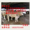 陕西省 夏洛莱牛 夏洛莱牛养殖 夏洛莱牛价格 西门塔尔牛