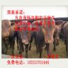 湖北省利木赞牛 利木赞牛价格 利木赞牛养殖 西门塔尔牛 夏洛莱牛