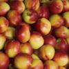 砀山特产 农村直供油桃 新鲜水果 优质油桃 批发