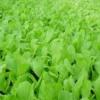 冬青小白菜高产新品种