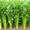 土芹,芹菜,香芹,新鲜蔬菜,无公害蔬菜