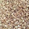 优质小麦 散装有机硬质小麦