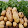 供应 土豆 优质土豆 有机土豆 厂家直销