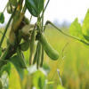 供应 新鲜有机 青毛豆 绿毛豆 毛豆荚 生毛豆 带壳青豆