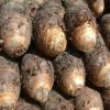 供应 天然无公害芋头 正宗新鲜香糯不腻 鲜香高粉芋头