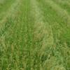 特抗穗颈稻瘟病、特高产水稻