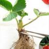 基地供应草莓苗 批发红颜草莓苗奶 当年结果四季草莓