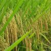 供应优质稻谷 晚籼稻谷