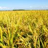供应优质稻谷 早籼稻谷