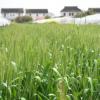 厂家直销 专业种植 营养小麦