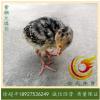 青铜火鸡苗-花火鸡苗-中型火鸡苗-7天出壳8000羽,运输包活