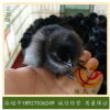 五黑鸡苗-绿壳蛋鸡母苗-纯种五黑一绿蛋鸡苗-六天一批-每批2.3万