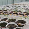 优质 种植瓜蒌苗