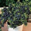 蓝莓树苗 优质蓝莓苗 南方果树苗 兔眼蓝莓带营养钵发货