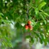 供应各种工程苗木 花卉 基地直销 优质 石榴树苗