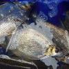 巢湖中河生态养殖鳊鱼