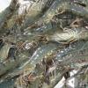 安徽淡水小龙虾