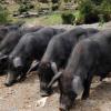 优质黑种猪