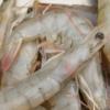 新鲜东方虾 活虾 鲜活 野生对虾 活海鲜
