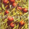 蜜浓王枣子树 枣树新品种 冬枣树品种 嫁接枣树