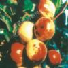 供应批发枣树苗 脆蜜王果树苗 成活率高 一年成活 果实甘甜可口