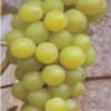 直销包结果南北方酿酒醉金香葡萄庭院盆栽地栽耐寒不用下架