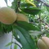 砀山特产 厂家直供水蜜桃 新鲜水果 无污染 无添加
