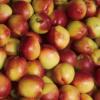 砀山特产 厂家直供油桃 新鲜水果 无污染 无添加